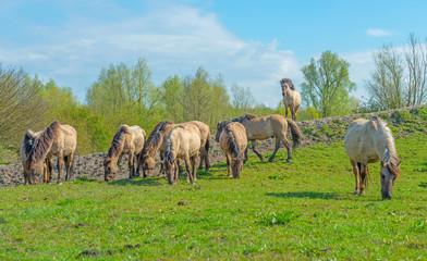 Naklejka na ściany i meble Feral horses in nature in spring