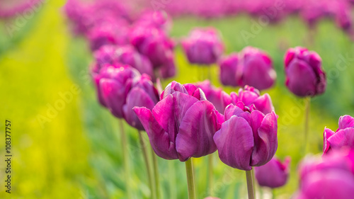 Foto op Plexiglas Roze Colorful tulips close up. Beautiful tulips in the spring. Variety of spring flowers blooming on fields.