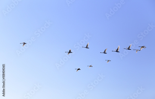 Papiers peints Oiseau Geese flying in blue spring sky, v-formation