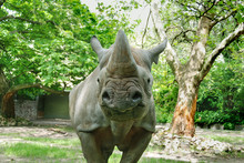 The Black Rhinoceros Or Hook-lipped Rhinoceros (Diceros Bicornis), Is A Species Of Rhinoceros, Native To The Eastern And Central Areas Of Africa