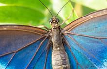 Blue Morpho Butterfly Macro