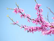 Spring Flowers. Purple Cercis Canadensis Or Eastern Redbud Bloss