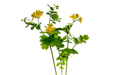Blooming Celandine Chelidonium Majus