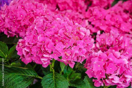 Poster Rose pink hydrangea