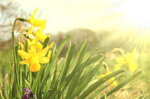 Deurstickers Narcis morgenstimmung im garten