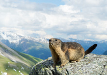 Alpine Marmot Standing On The Boulder, With Snowy Mountains In The Background, Austria, Europe