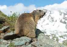 Alpine Marmot Standing On The ...