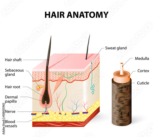 Diagram Of A Hair Follicle In A Cross Section Of Skin Layers Buy