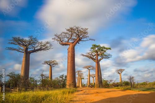 In de dag Baobab Allée des baobabs Madagascar