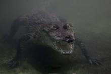 Crocodylus Niloticus Or Nile C...
