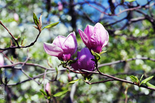 Tuinposter Magnolia Blossoming of magnolia flowers in spring time