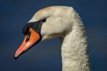 Head Of Mute Swan (Cygnus Olor) Against Blue Water