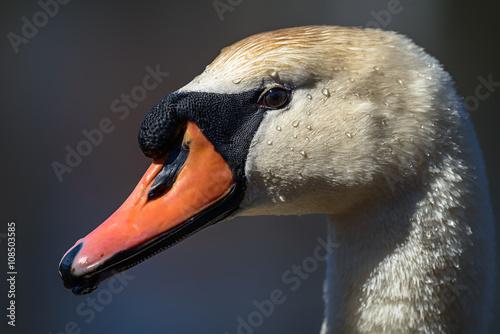 Foto auf Acrylglas Schwan Head of Mute swan (Cygnus olor) against blue water