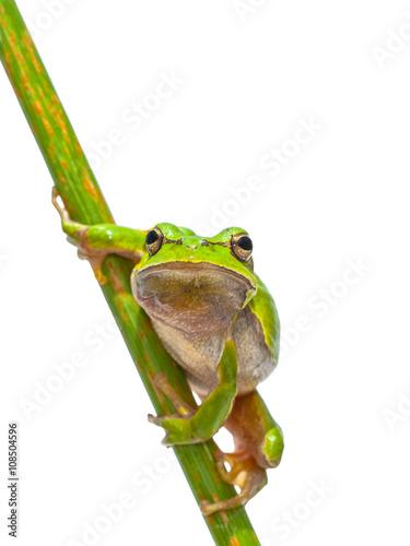 Photo European Tree frog frontal diagonal