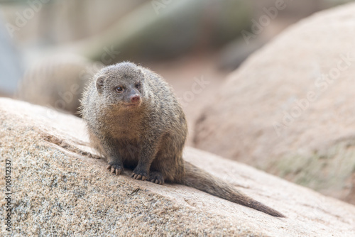 Photo  Herpestes (mongoose family)