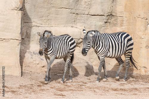 Furniture stickers Zebra Zebra