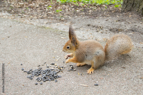 Obraz na dibondzie (fotoboard) Wiewiórka je słonecznika.