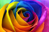 Fototapeta Tęcza - Rainbow rose or happy flower