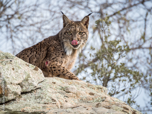 Poster Lynx Iberian lynx ( Lynx pardinus) licking its nose