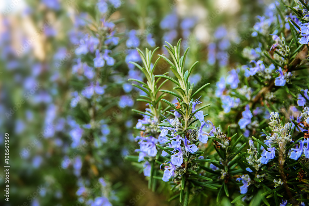Fototapety, obrazy: blossoming rosemary plants in the herb garden