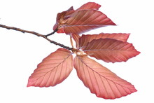 Twig With Beech Tree Leaves Is...