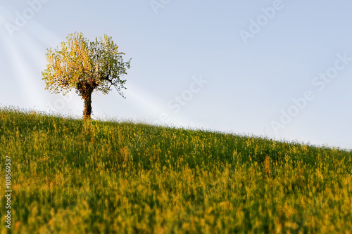 Pear tree alone on hill in the spring