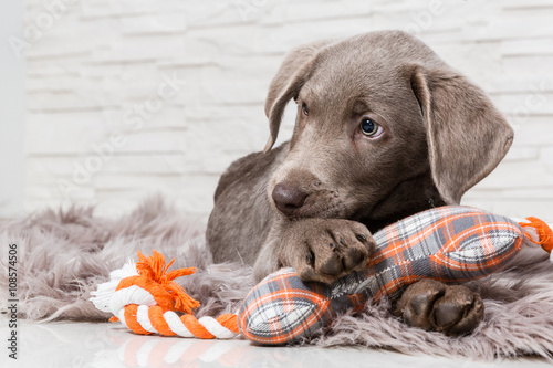 Leinwand Poster  Supersüßer Hundewelpe mit Spielzeug