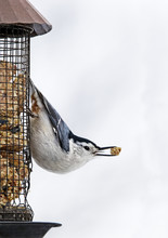 White Breasted Nuthatch (Sitta Carolinensis) Clinging To A Peanut Feeder