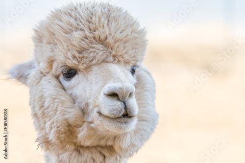 Poster Lama Close up of an alpaca