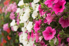 Colorful Petunia Flowers Close Up