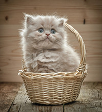 Beautiful British Long Hair Kitten In A Basket