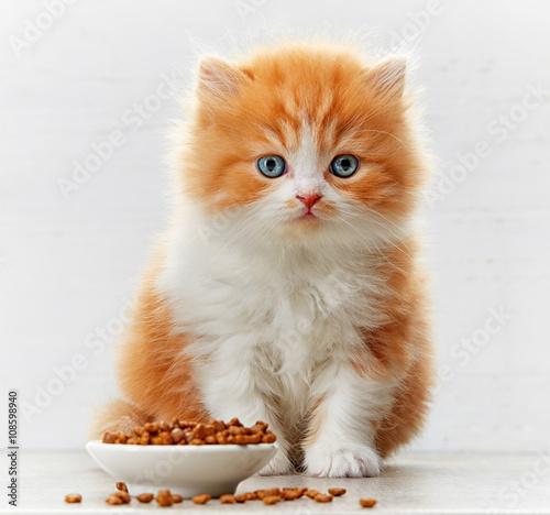 beautiful british long hair kitten and cat food bowl Fototapeta