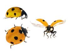 Set Of Three Yellow Ladybugs Isolated On White
