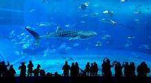 Whale Shark In Okinawa Churaum...