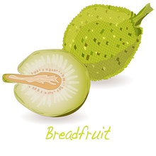 Breadfruit  Vector Isolated
