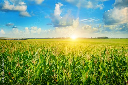 Cuadros en Lienzo sunrise over the corn field