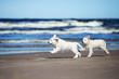 happy golden retriever puppies running on a beach