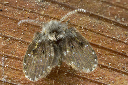 Drain Fly - Clogmia albipunctata. This is a shot at 4X lifesize, actual size is about 4mm.