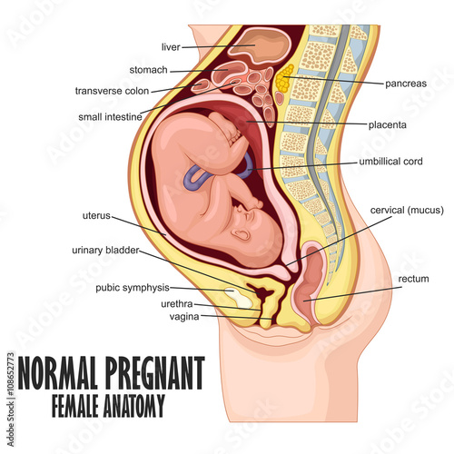 Normal Pregnant Female Anatomy Buy This Stock Vector And Explore