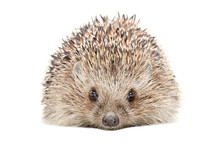 Portrait Of A Hedgehog Isolated On A White Background