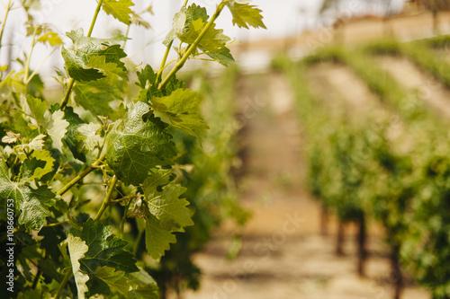 Fotografie, Obraz  Grapevine plant detail in row of grape vineyards
