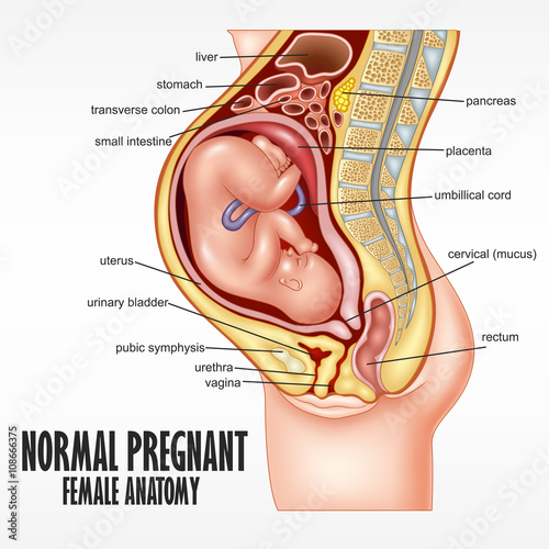 Photo  Normal Pregnant female anatomy