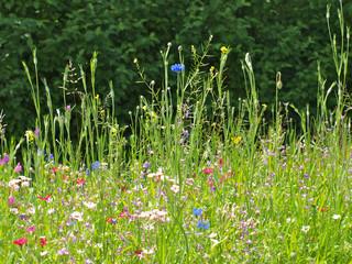 Panel SzklanyWiese mit Blumen im Sommer