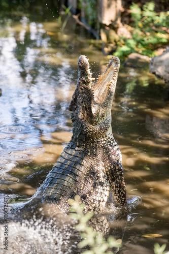 Photo  Attack crocodile. Cuban Crocodile (crocodylus rhombifer).