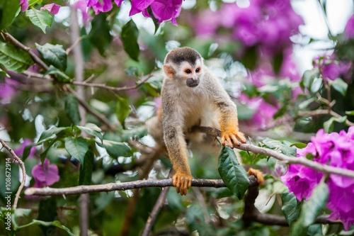 Tuinposter Eekhoorn The squirrel monkey and pink flowers.The common squirrel monkey (Saimiri sciureus)