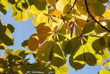 Horse-chestnut Leaves Against ...