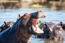 Hippo Showing Teeth
