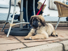 Leonberger Puppy Under Table A...