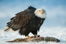 The Bald Eagle ( Haliaeetus Le...