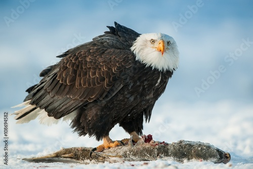 Poster Aigle The Bald eagle ( Haliaeetus leucocephalus ) sits on snow and eats a salmon fish.